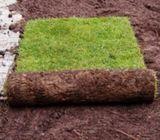 Zimbabwe Grass Sods In Kenya