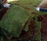 Tifton Grass in Kenya