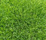 Buffalo Lawn Grass sods in Kenya