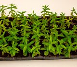 Green Duranta Hedge Seedlings in Kenya