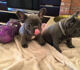 Top of the line exceptional blue french bulldog puppies